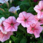 Ампельні петунії - посадка, розмноження і догляд