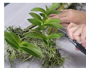 Як правильно відсадити дитинку орхідеї від материнської рослини?