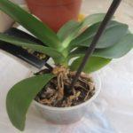 Як відсадити дитинку орхідеї?