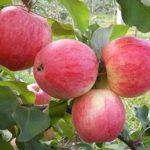Яблуні сорту Мантет — посадка, догляд.