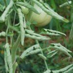 Чому у помідорів скручується листя, причини?