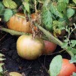 Як краще дозрівати зелені і бурі помідори?