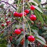 Шкідники вишні - профілактика та боротьба