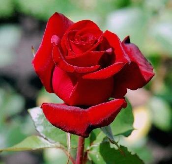 Як вкоренити садову троянду.