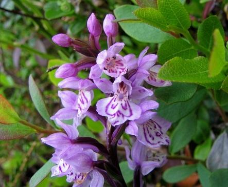 Пальчатокорінник із родини орхідних.