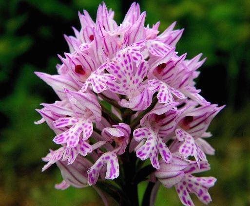 Зозулинець із родини орхідних.