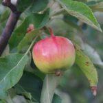 Боротьба зі шкідниками яблунь в саду.