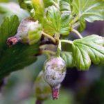 Народні засоби від борошнистої роси на аґрусі.
