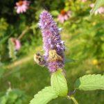 Лофант анісовий — лікарська рослина.