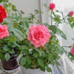 Догляд за кімнатними трояндами.