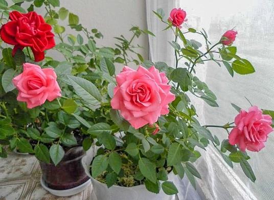 Догляд за кімнатними трояндами  1745c234f9b95