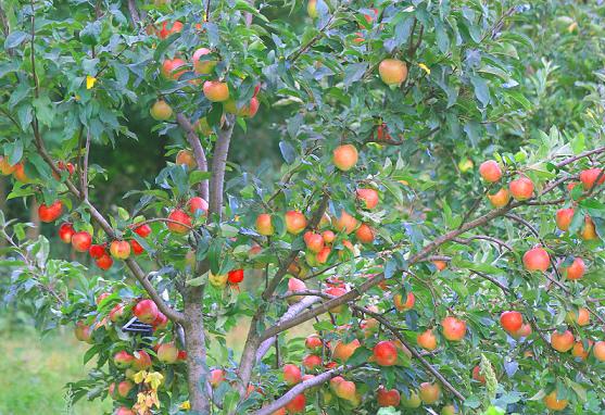Осіннє підживлення в саду добривами.