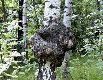 Чага - березовий гриб в онкології.