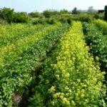 Осінній посів сидератів на городі