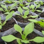 Петунії — вирощування із розсади.