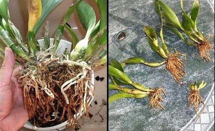 Як правильно проводити поділ куща орхідеї.