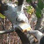 Чим обробляти рани на деревах.