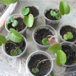 Вирощування цикламена із насіння.