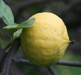 Бергамот - вирощування в домашніх умовах, догляд, пересадка