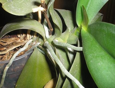 Розмноження орхідей діленням куща.