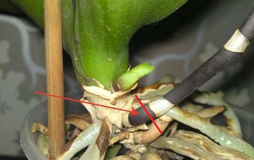 Обрізаємо стрілку в орхідеї, пагін чи квітконіжку.