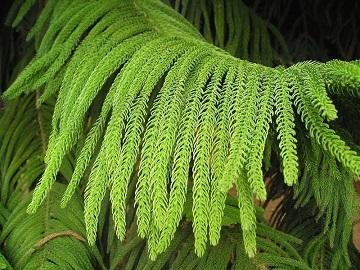 Араукарія кімнатна - розмноження, агротехніка, види