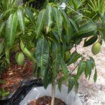 Вирощування манго в домашніх умовах з кісточки, догляд, умови