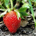 Підживлення полуниці під час плодоношення.