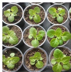 Петунія - дуже кумедна і вдячний квітка, яку варто садити на розсаду