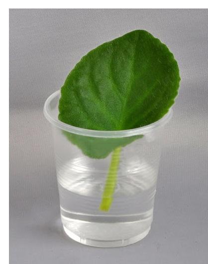 Вирощування фіалки із листочка.