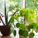 Кімнатні рослини, які очищають повітря