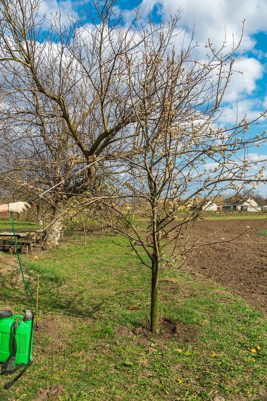 Чим кропити дерева у саду.