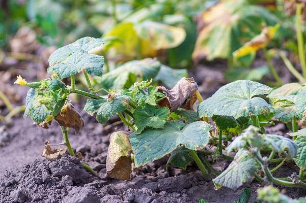 Правильний догляд за огірками у відкритому ґрунті