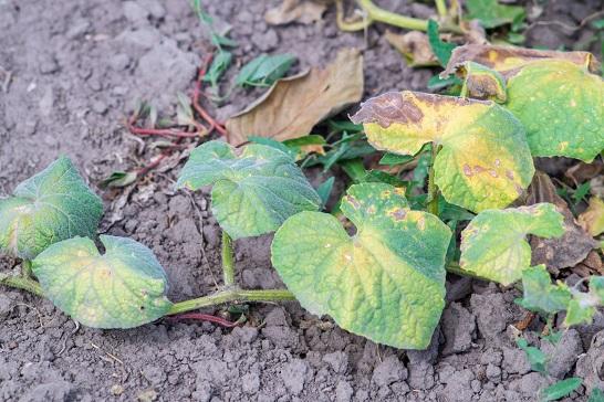 Розглянемо головні причини неврожаю огірків, чому плоди дрібні а листя жовтіє і сохне