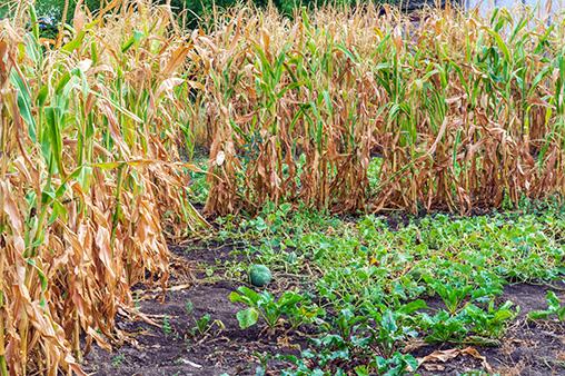 Захищаємо врожай від сонця.