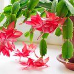 Догляд за декабристом після цвітіння