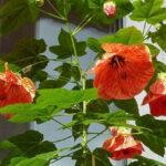 Як виростити абутилон або абутілон із насіння