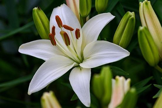 Пересадка лілій після цвітіння