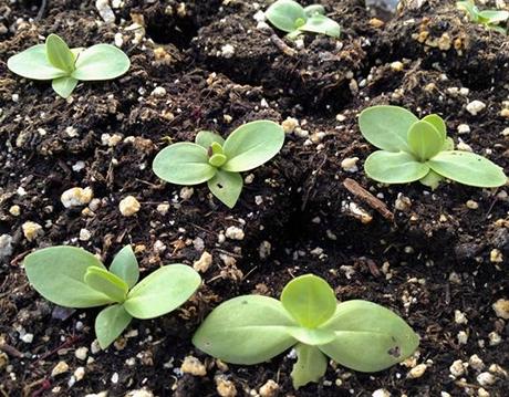 Помилки при вирощуванні розсади еустоми.
