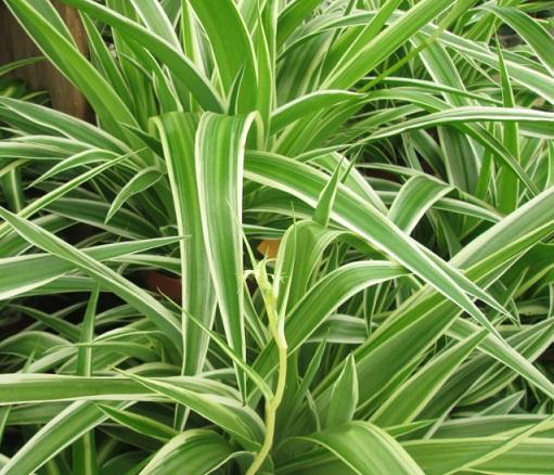 Хлорофітум - вирощування та догляд в кімнатних умовах.