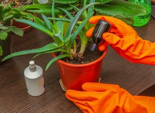 Боротьба із щитівкою на кімнатних рослинах