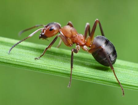 Як боротися з мурахами на городі.