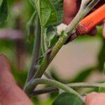 Як пасинкувати баклажани і формувати рослини для гарного врожаю.
