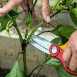 Як формувати крону перців для гарного врожаю