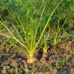 Подвійна підгодівля моркви і буряків у серпні