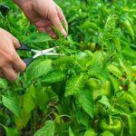 Формування крони перцю і баклажанів