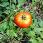 Чому помідори ростуть із жовтими плямами зверху