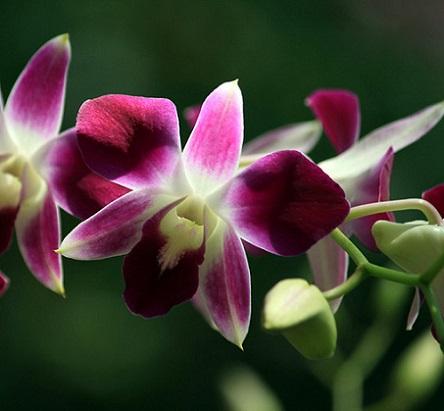 Як продовжити цвітіння орхідей