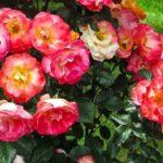 Догляд за трояндами восени