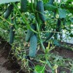 Як продовжити врожай огірків у теплиці